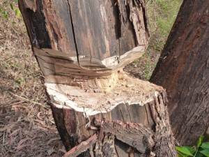 Picture of a hacked tree dying